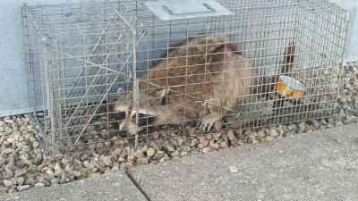 MPR Racoon captured
