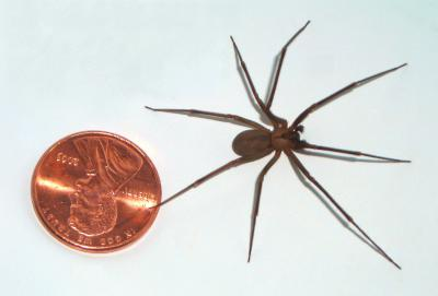 A large brown recluse compared