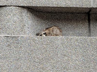 MPR Racoon stranded on a ledge of the Town Square for two days
