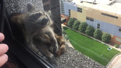 MPR Racoon stuck on ledge